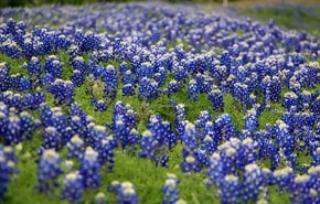 Bluebonnets Season