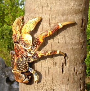 Coconut Crabs on Chumbe Island