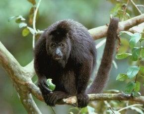 Scimmie urlanti