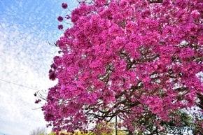 Lapacho Blooming
