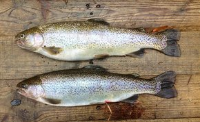 Wild Salmon and Trout