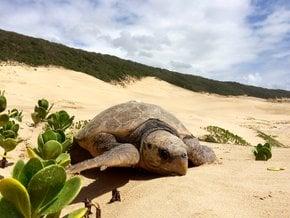 Schildkrötennisten