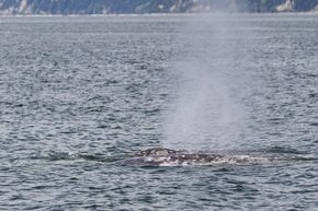 Gray Whales near Everett