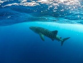 Die Walhai-Saison in Utila