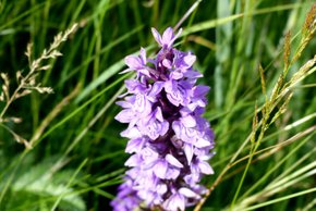Orchids at  Lauwersmeer