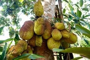 Breadfruit and Jackfruit