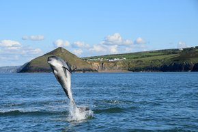 Bottlenose Dolphins in Cardigan Bay