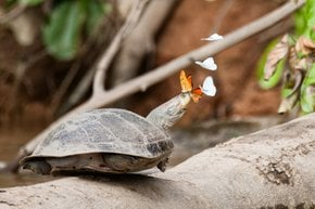 Butterflies Drinking Turtle Tears