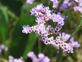 Sea Lavender (Lamsoor) in the Zwin
