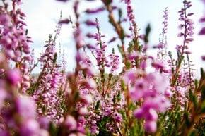 Die Blumen von Lappland