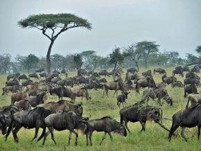 Wildebeest Calving in Serengeti