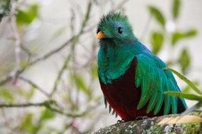 Replendente Quetzal
