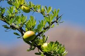 Récolte d'huile d'argan