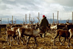 Marking the Reindeer