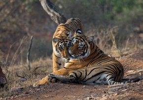 Tiger Safari dans le parc national Ranthambore