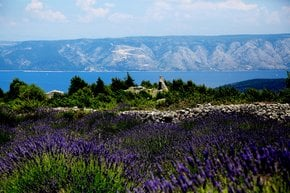 Lavender Bloom on Hvar Island