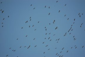 White Stork Migration