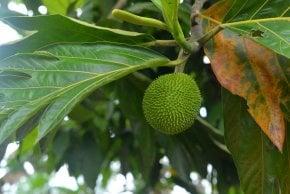 Breadfruit (Buen Pan)