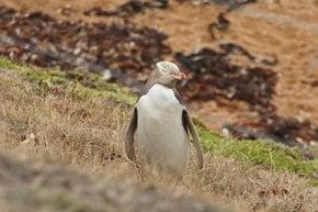 Hoiho–Yellow-Eyed Penguin