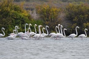 Flamingos in the Tagus Estuary Natural Reserve