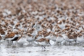 Bird Migration at Copper River Delta