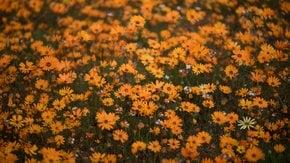 Namaqualand Blumen