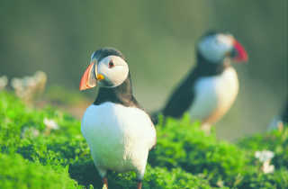 Atlantic Puffins on Skomer