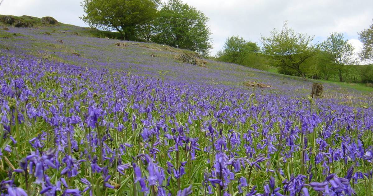 Bluebells in Bloom in Wales - Best Time