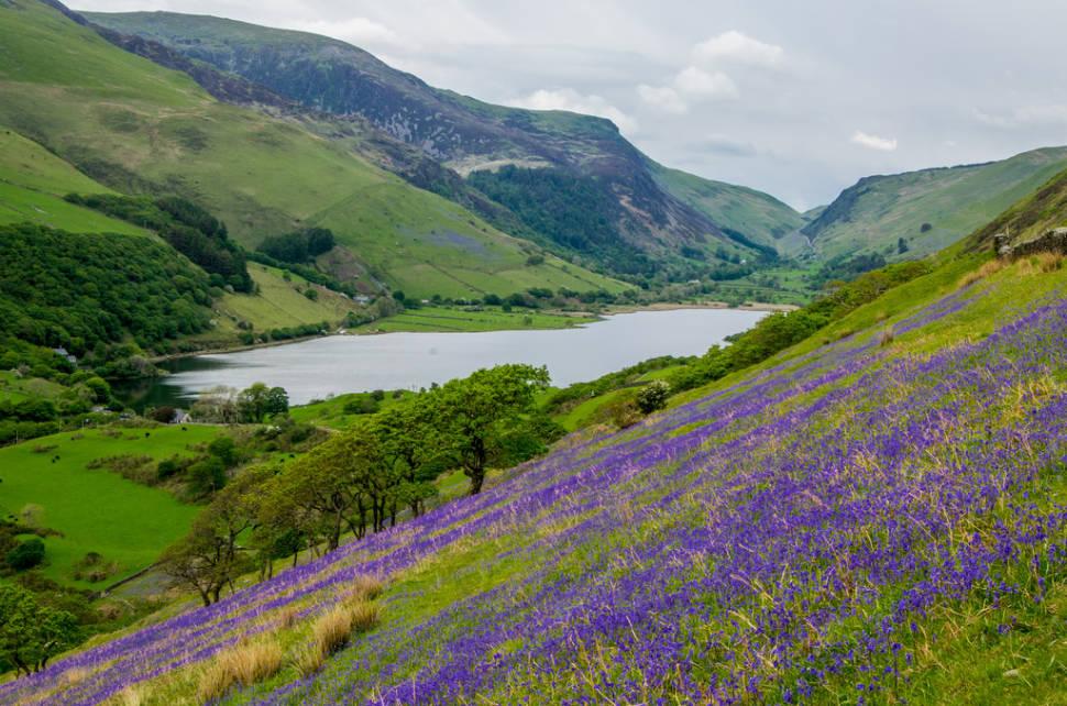 Bluebells in Bloom in Wales - Best Season