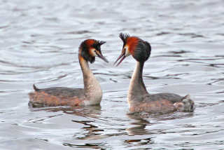 Great Crested Grebe at Traeth Lafan