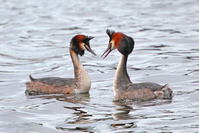 Great Crested Grebe at Traeth Lafan in Wales - Best Time