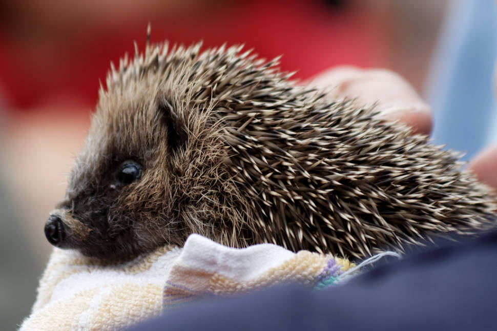 Best time for Hedgehog Rescue in Wales