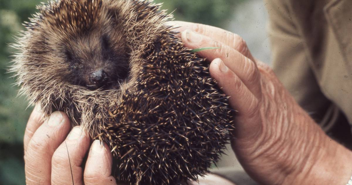 Hedgehog Rescue in Wales - Best Time