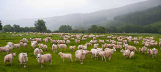Sheep Trekking in the Brecon Beacons