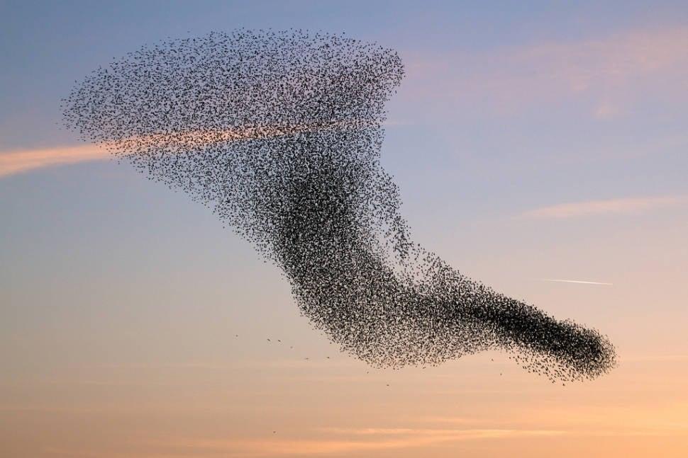 Starling Murmuration in Wales - Best Season