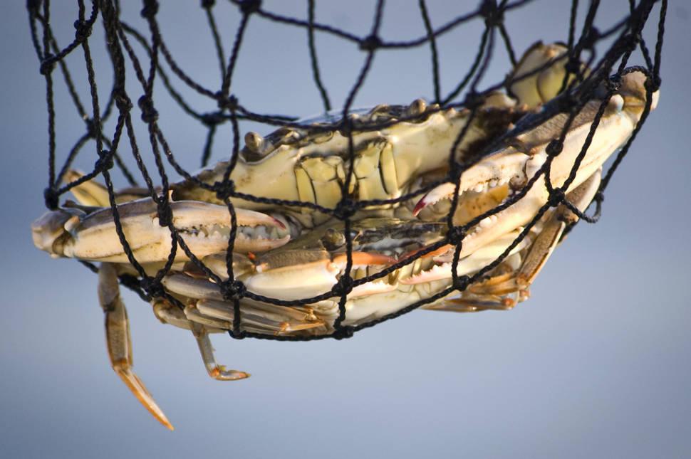 Chesapeake Bay Blue Crab in Washington, D.C. - Best Season