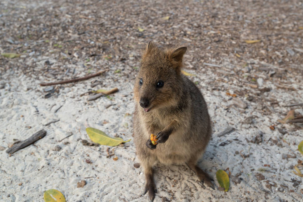 Best time for Quokka, the World's Happiest Animal in Western Australia