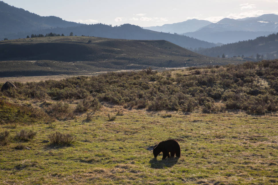 Best time for Black Bears in Yellowstone National Park
