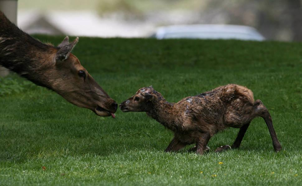 Newborn elk calf in Mammoth Hot Springs