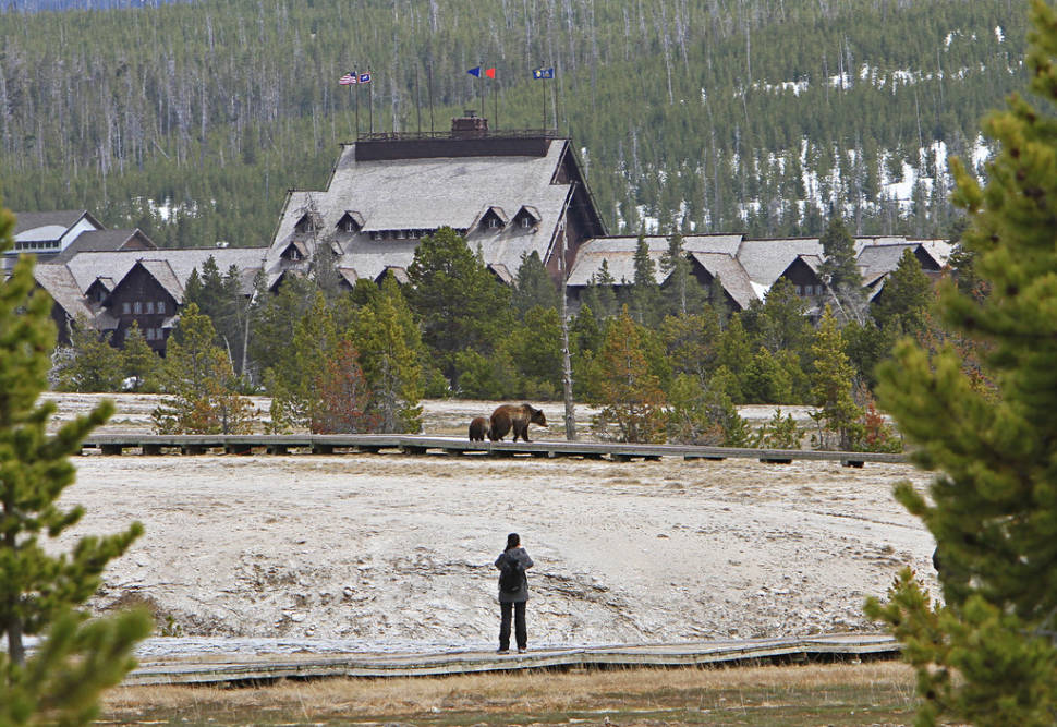 Grizzly sow and yearling on boardwalk in Upper Geyser Basin