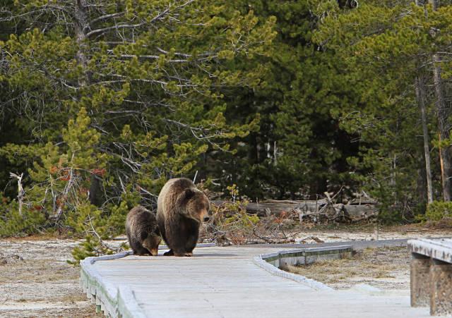 Grizzly bears on boardwalk near Daisy geyser
