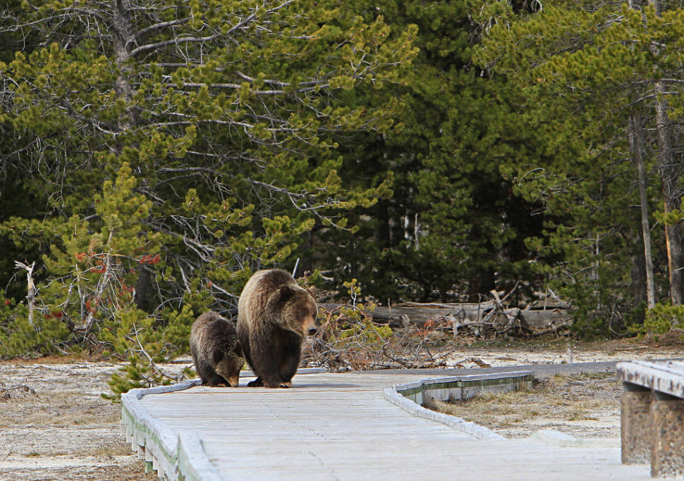 Grizzly bears on boardwalk near Daisy geyser