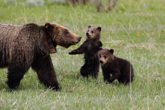 Grizzly Bears in Yellowstone National Park - Best Time