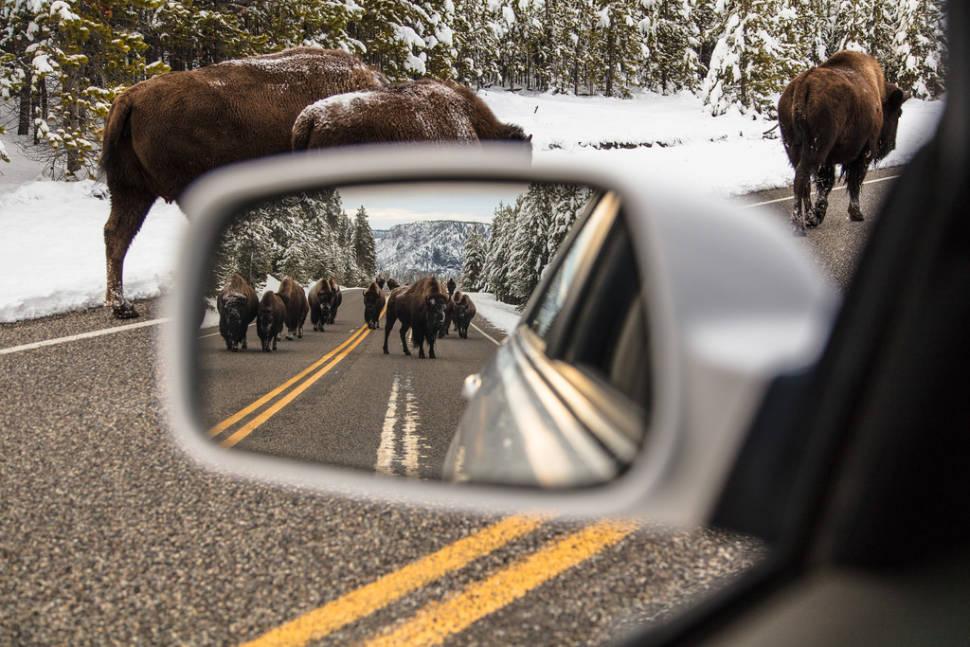 Bison jam near Madison Junction
