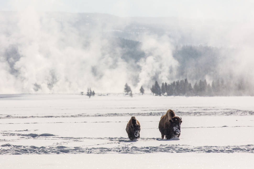 Migrating Bisons in Yellowstone National Park - Best Season