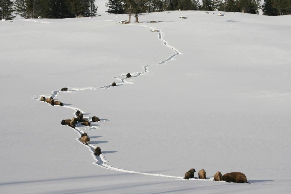 Bison walking through deep snow near Tower Jct.