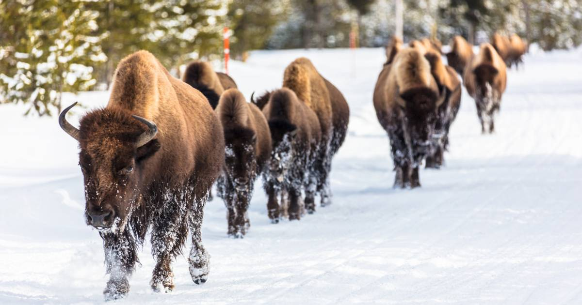 Migrating Bisons in Yellowstone National Park - Best Time