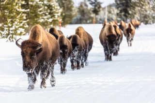 Migrating Bisons