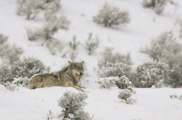 Wolves in Yellowstone National Park - Best Season