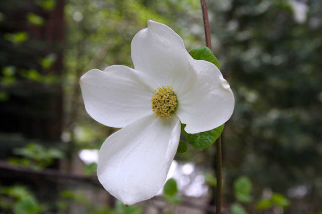 Best time for Dogwoods in Bloom in Yosemite